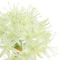 Allium krämvit L76cm