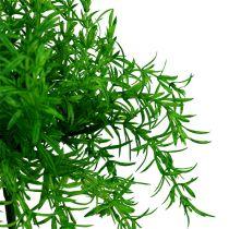 Sparrisbuskgrön 25 cm