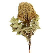 Banksia Baxterii Torkade Blommor Naturliga 10st