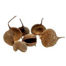 Buddha Nut Natural 15st
