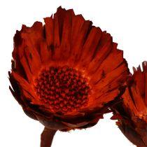 Compacta rosett orange (37) 40st
