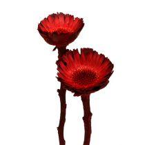 Compacta rosett röd (36) 40st