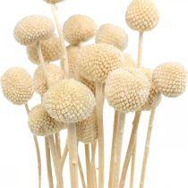 Craspedia torkad grädde trumstick torr floristik 20st