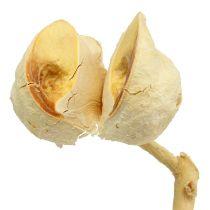 Hakea medium 5-9 huvuden per gren blekt 25st