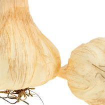 Vitlök 7,5-11 cm grädde 5st