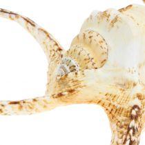 Lambis marin gastropod naturligt 22cm