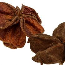 Land lotus nature 50st