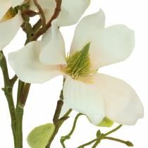 Magnolia persika 85cm