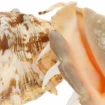 Lambis marin gastropod naturlig 14cm 10st