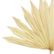 Palmspear Sun blekt 30st
