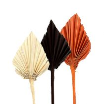 Palmspear mini diverse Marocco 30st