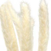Torkad pampas gräsgrädde för torkning av bukett 65-75cm 6st