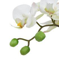 Phalaenopsis kräm i en keramisk kruka 33cm