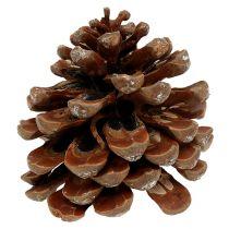 Pinus Pinea medium 10 / 14cm nature 50p