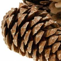 Pinus Pinea large 14 / 18cm natur 50p