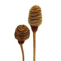 Platyspermum Creme 1-3, 50 huvuden