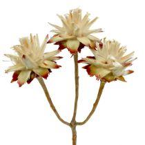 Leucospermum 1-3 Blanda grädde 100 huvuden