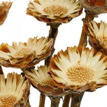 Protea Compacta Rosette Naturligt torkat blommasockerbuske 8st