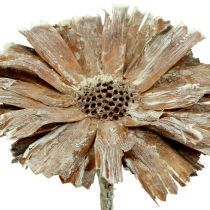 Protea rosett 8-9cm vit tvättad 25st