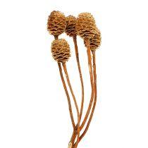 Sabulosum 4-6 huvuden per gren 25st