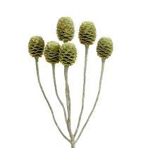 Sabulosum gren 4-6 grön frostat 25st