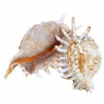Havssnigel millipede naturliga 11-15cm 10st