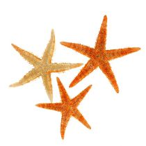 Sjöstjärna torkade 8 cm - 10 cm 10 st