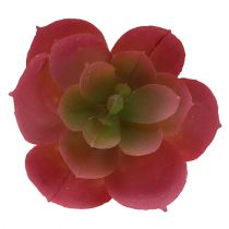 Suckulent växt Ø5cm rosa 6st