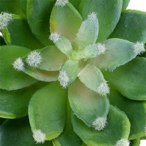 Suckulent stenrosgrön Ø10cm H11cm 3st