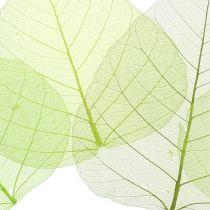 Willow lämnar skelettgrön olika 200 st