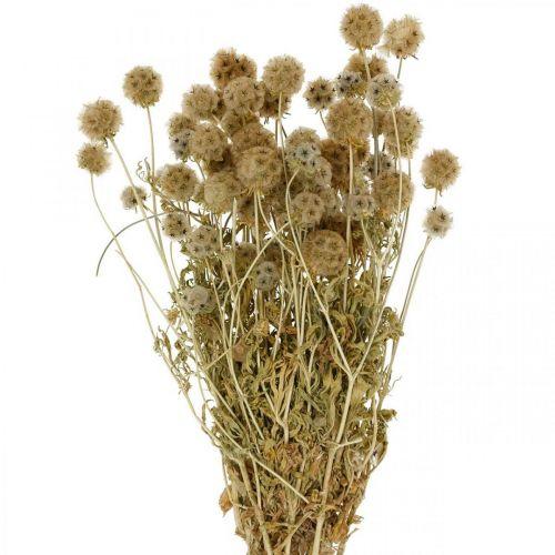 Scabiosa torkad natur Scabiosa torkade blommor H50cm 100g
