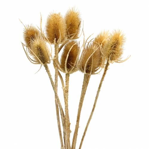 Torkade blommor tistel natur 8st