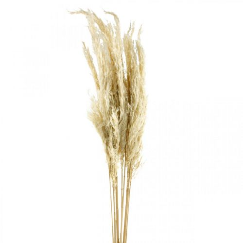 Pampasgräs, torkat, blekt 75 cm För en torr bukett Gäng med 10 stycken