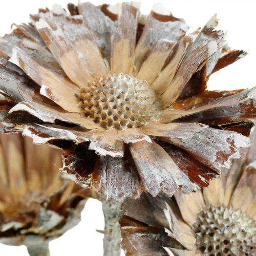 Exotic Mix Protea Rosette Natural, Vit Tvättad Torkad Blomma 10st