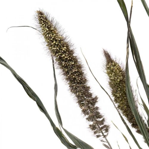 Torkade blommor Setaria antracit naturlig hirsbunt 100g