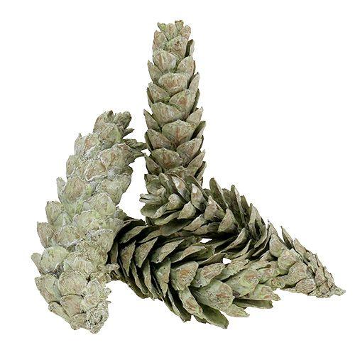 Strobus kottar som en naturlig dekoration 15cm - 20cm grön 50p