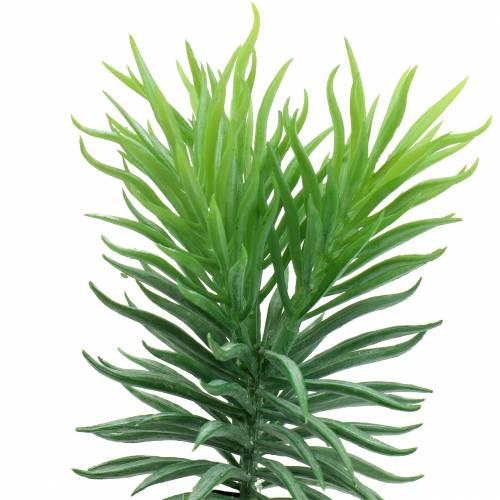 Saftig växt Senecio ragwortgrön 20cm