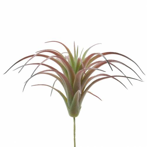 Tillandsia grön-röd flockade 15cm 4st